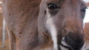 Extreme Animals - Kangaroo and Penguin photo