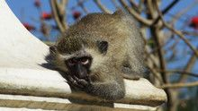 Street Monkeys show