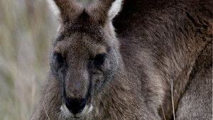 Kangaroo Kaos photo