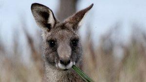 Kangaroo Kaos photo