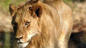 Lion Army photo