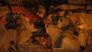 Lion Army photo