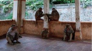 Monkey Thieves 照片