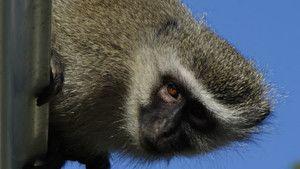 Street Monkeys 照片