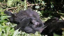 Gorilla Murders 節目