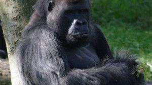 Human Ape 照片