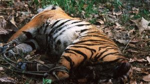 The Tiger Trade photo