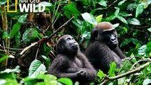 Mystery Gorilla show