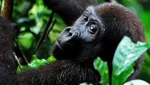 Mystery Gorilla photo