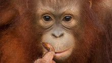 Enchanting Apes show