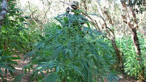 Marijuana photo