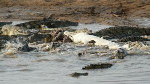 Croc Don photo