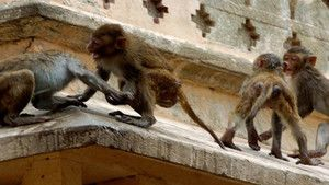 Monkey Thieves photo