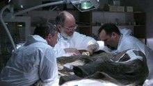 Baby Mammoth Surgery show