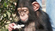 Chimp Diaries show