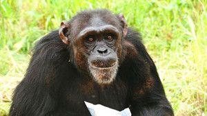 Chimp Diaries photo