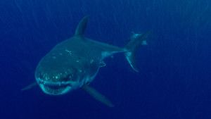 Great White Shark photo