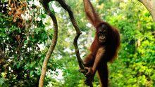 Borneo show