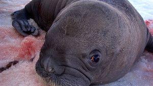 海象 Walrus 照片