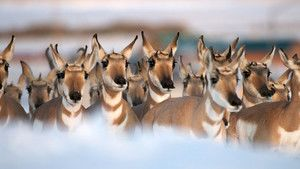 Pronghorn photo