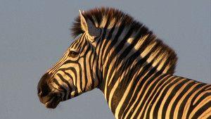 斑馬 Zebras 照片