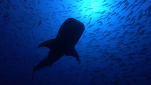 抹香鯨 Sperm Whales 照片