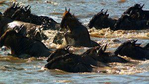 牛羚 Wildebeest 照片