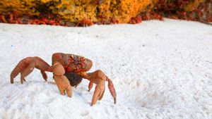 Red Crab photo