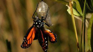 帝王蝶 Monarch Butterflies 照片