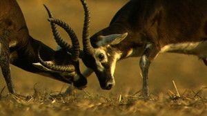 白耳赤羚 White-eared Kob 照片