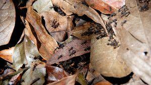行軍蟻 Army Ants 照片
