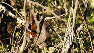 Flying Foxes photo