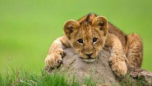 Velike čudovite mačke Fotografija