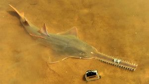Operation Sawfish photo