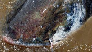 Colossal Catfish photo