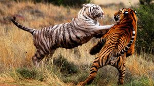 Tiger Portraits photo