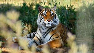 Tiger Portraits photo