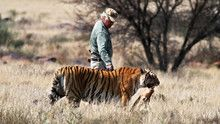 Tiger Man show
