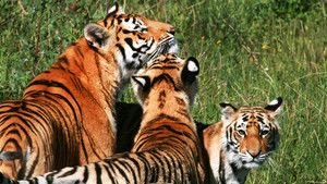 Young Tigers photo