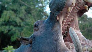 Cocaine Hippos photo