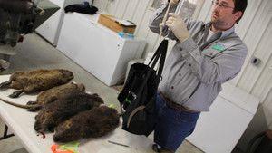 Giant Swamp Rats photo