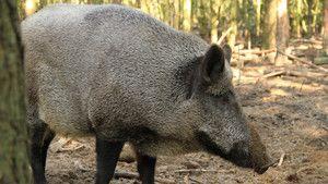 Feral Pig Plague photo