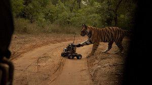 Tigrii bengalezi imagine