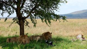 Stalking Lions photo