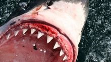 Diving with Great White Sharks show