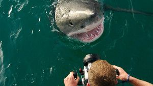 Diving with Great White Sharks photo