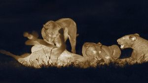 Night Of The Lion photo