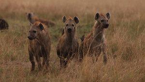 Hyena Gangs photo