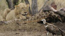 Lions show