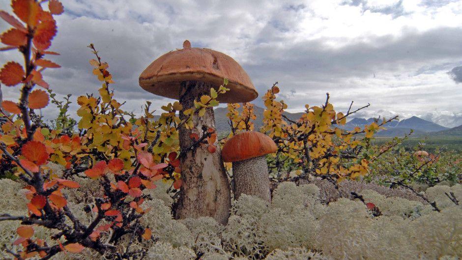 этой северные грибы фото тундры и разных фактур